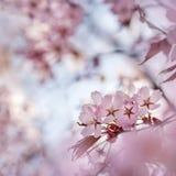 Finlandssvenska Cherry Flower Arkivbild