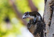 Finlayson& x27; esquilo de s & x28; Esquilo variável, finlayso de Callosciurus Imagens de Stock Royalty Free