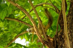 A Finlayson`s squirrel playing on tree branches at Bangkok city park royalty free stock photos