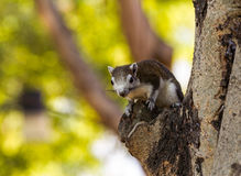 Finlayson's squirrel (Variable squirrel , Callosciurus finlayso royalty free stock image