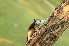 Squirrel on a tree. Close-up Picture of Squirrel on a tree looking at the camera in park Royalty Free Stock Photography