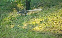 Finlayson wiewiórka zmienna wiewiórka jest mieszkana ślepuszonką, normalnie karmi na owoc, w Azja Południowo-Wschodnia Ja zamiesz obraz stock