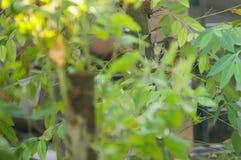 Finlayson wiewiórka zmienna wiewiórka jest mieszkana ślepuszonką, normalnie karmi na owoc, w Azja Południowo-Wschodnia Ja zamiesz zdjęcie royalty free
