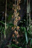 Finlaysonianum del Cymbidium, pétalos amarillos con polen rojo Fotos de archivo