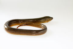 Finless eel on white background Stock Images