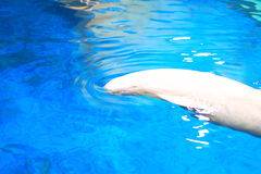 Finless Porpoise Stock Images