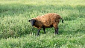 Finn Sheep Standing in Grassy Field.  Stock Photography