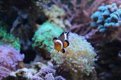 Finna Nemo i akvarium Arkivfoto