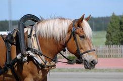 Finnhorse de trabajo Fotos de archivo libres de regalías
