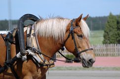 Finnhorse di lavoro Fotografie Stock Libere da Diritti