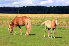 Finnhorse Mare and Filly on Grass Meadow Stock Photo