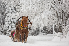 Finnhorse pulling a sledge Stock Photography