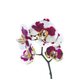 Finnig orkidé som isoleras på viten Royaltyfria Foton