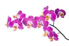 Finnig orkidé som isoleras på viten Royaltyfria Bilder