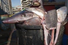finning καρχαρίας κυνηγόσκυλ&omeg Στοκ Εικόνες