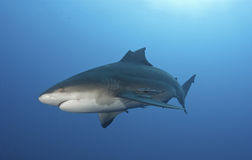 Finning. The side view of a bull shark with a broken fin, Pinnacles, Mozambique Royalty Free Stock Images