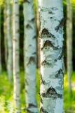 Finnischer Birkenwald stockfoto
