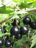 Finnish Berries stock photos