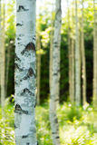 Finnish birch forest. Photo of a birch forest located in Finland Royalty Free Stock Photography