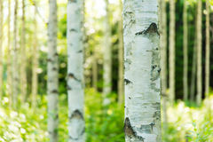 Finnish birch forest. Photo of a birch forest located in Finland Stock Photography
