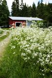 Finnish cottage and garden full of wild carrot. In blossom. The cabin is made of wood and painted in red Stock Photography