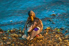 A Finnish duck preening by the rivers edge. A beautiful capture of a duck preeing by the waters of the river Aura in Turku Stock Photography