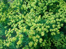 Finnish flowers. Yellow, summer, backyard royalty free stock image