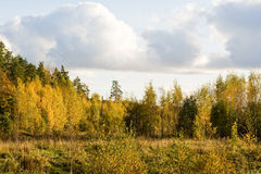 Finnish forest. Gold color of fall trees in Finland stock images