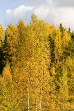 Finnish forest. Gold color of fall trees in Finland royalty free stock photo