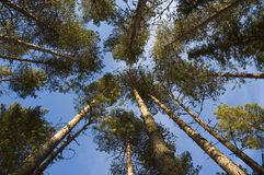 Finnish forest. Upward angle in a forest royalty free stock photo