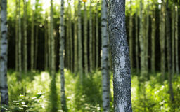 Finnish forest. Daytime of a Finnish birch forest Stock Photo