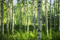 Finnish forest. Daytime photo of a Finnish birch forest Stock Photography