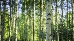 Finnish forest. Photo of a Finnish birch forest Royalty Free Stock Photo