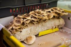 Finnish grown shiitake on artificial stomp. Finnish grown shiitake on sale in a market Royalty Free Stock Photography