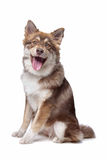 Finnish Lapphund. Puppy in front of a white background Royalty Free Stock Photos