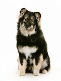 Finnish lapphund dog Royalty Free Stock Photo