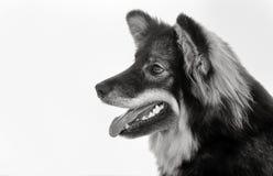 Finnish lapphund dog Stock Image