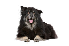 Finnish Lapphund. In front of a white background Stock Photography
