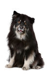 Finnish Lapphund. In front of a white background Stock Photos
