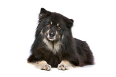 Finnish Lapphund. In front of a white background Stock Image