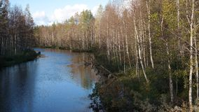 Birch grove. Ubiquitous birch grove along the river in Finland Royalty Free Stock Image