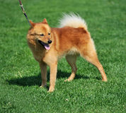 Finnish spitz. A beautiful specimen of a finnish spitz dog Royalty Free Stock Photos