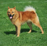 Finnish spitz. A beautiful specimen of a finnish spitz dog Stock Image