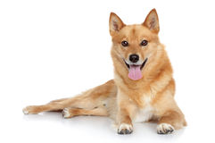 Finnish spitz. (Karelian Finnish laika) posing on a white background Royalty Free Stock Photography