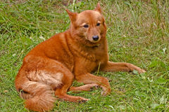 Finnish spitz Stock Images