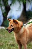 Finnish Spitz. Pretty Finnish Spitz dog wearing a green collar and leash going for a walk Royalty Free Stock Image