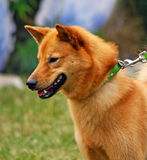Finnish Spitz. Close-up of a beautiful and happy Finnish Spitz Stock Photography