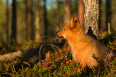Finnish Spitz in the afternoon light Royalty Free Stock Images