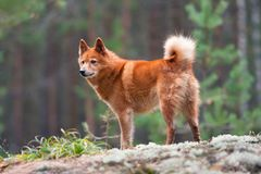Finnish spitz on the blurred background. Hunting dog finnish spitz on the blurred background stock images