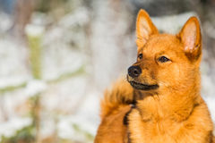 Finnish Spitz Royalty Free Stock Images